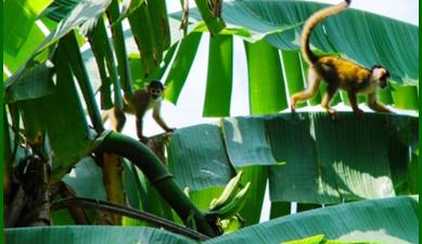 purus project - monkey